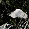 Snowy Egret looking for a little to eat.