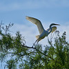 Great Egret taking off to either look for food or some nest building material.