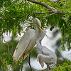 I wonder if any Mama Egret has ever lost an eye to these aggressive chicks.