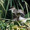 Black Crowned Night Heron Chicks