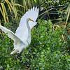 Beautiful wingspan of a Great Egret taking flight.