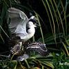 Black Crowned Night Heron with chicks