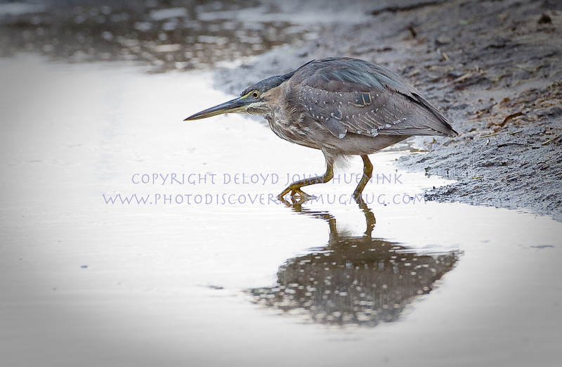 STEALTH...the green-backed heron is a great hunter, creeping silently in search of breakfast...
