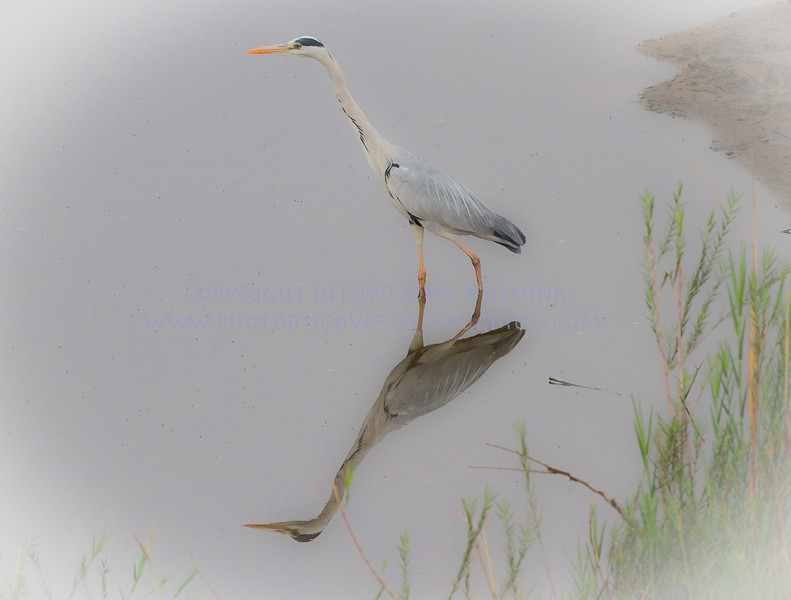 PRETTY BIRD<br /> <br /> Great Grey Heron...Looks a lot like a great Blue Heron, about the same size and temperament.  Hunts about the same as well.