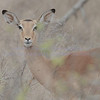 PEACE BE WITH YOU<br /> <br /> An elegant female Kudu.  they can clear jumps of up to 2 meters.  Gentle browsers, they struggle during periods of draught.