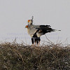 LOOK.  <br /> <br /> Secrtetarybird pair.  A member of the raptor family.  Their nest occupies the entire top of a low tree.  Note the use of thorn branches to protect the nest.  While hunting, they usually do not fly, but hunt snakes and small animals on the ground.