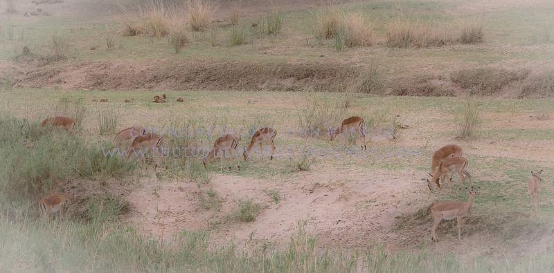 IMPALA ON THE RANGE<br /> <br /> While plentiful, they are peaceful, beautiful and somehow awe inspiring...