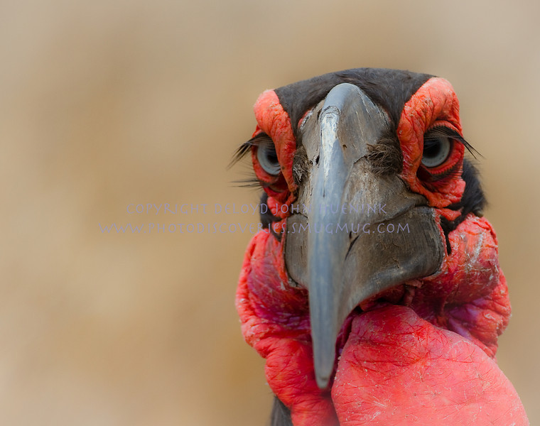 GROUND HORNBILL...have you ever seen such magnificent eyelashes on anyone, let alone a bird?  These creatures turned into one of my favorite birds on this trip