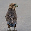 CONFUSED BABY<br /> <br /> An immature Bateleur Eagle.  Standing on a patch of blacktop, unsure of where to go next.  We actually saw him before entering the park, and the Bateleur quickly became one of my favorite sightings.