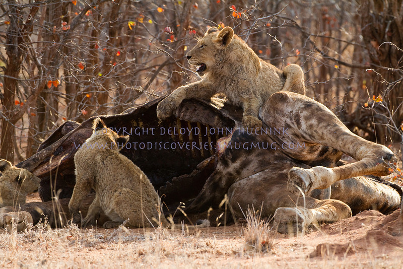 LION KILL<br /> <br /> This kill is perhaps 2 days old.  The cubs are finally allowed to eat.  Mom keeps the others away.