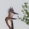 Goliath Heron...they stand about 6 feet tall, and have an almost comic book look to them.  They are wonderful!
