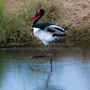 STEP LIVELY<br /> <br /> A Saddle-billed Stork.  A Huge bird, I am sure this one was approaching 6 feet tall.  Their mannerisms and colors make them stand out.