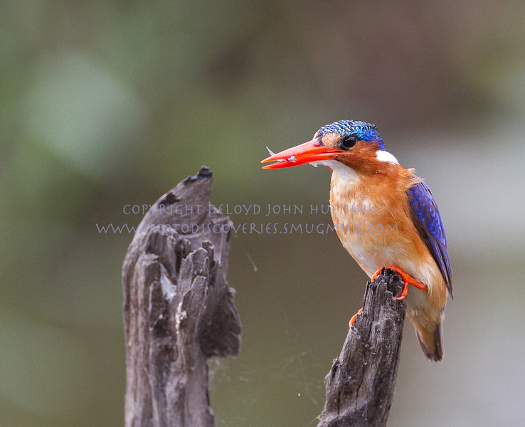 Malachite KIngfisher...a tiny kingfisher.  this little guy dove after minnow after minnow.  The one in his beak is a tiny creature itself, so you get some idea of how small he is as well.  He is about the size of a small sparrow.