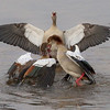 FIGHT ON<br /> <br /> Egyptian Geese.  2 males fighting over the female who is egging them on.  These guys fought for a half hour, and all the while the female was there with them, cheering for someone.  Not sure who.
