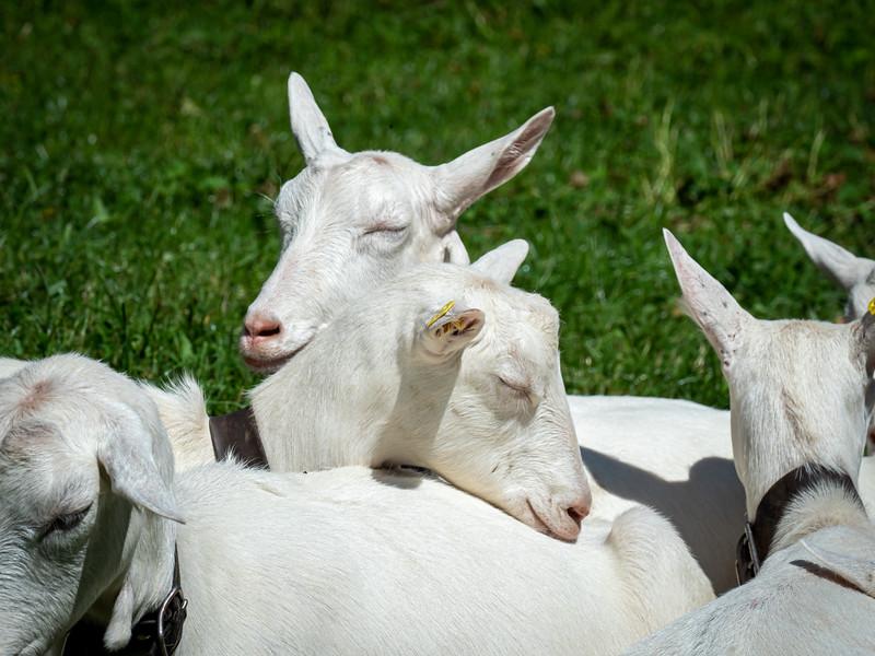 Sleepy goats in Lauterbrunnen Valley