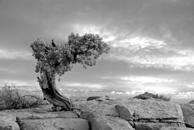 Juniper in black and white, Dead Horse State Park, Utah