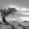Juniper in black and white, Dead Horse State Park, Utah