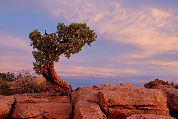 Juniper at Dead Horse Point