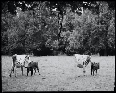 Cow Family Morning 6