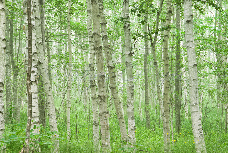 Birch Trees in Acadia National Park