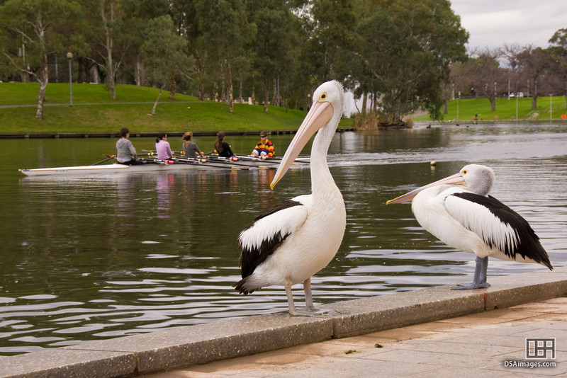Pelicans and the Adelaide University rowing crew