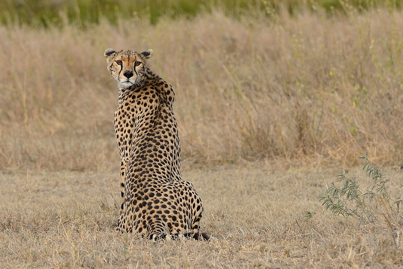 Amazingly engineered body.....- the Cheetah