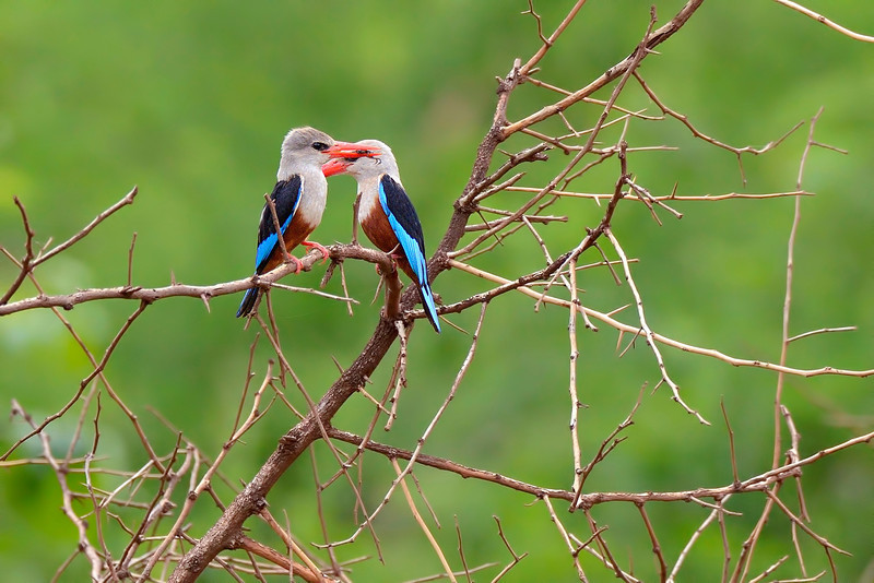 Grey-headed Kingfishers