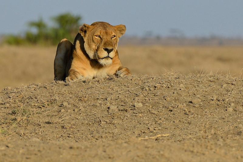 Burning Bright - Lioness