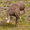 Common Ostrich - Female