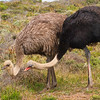Common Ostrich - Mating Pair
