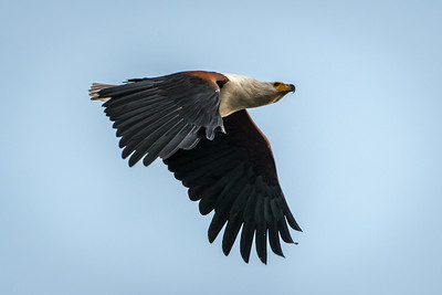 African Fish Eagle-5340