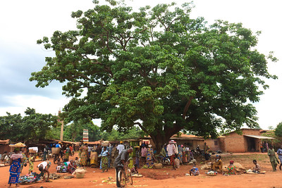 Click here to buy at Alamy. Keywords: Abomey Africa Balancing Benin Market Street Tree MyID: 09AZa5281