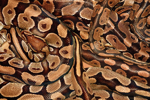 Click here to buy at Alamy. Keywords: Africa Benin Ouidah Python Temple Reptile Snakes MyID: 09AZa5244