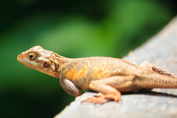 Click here to buy at Alamy. Keywords: Africa Benin Lizards Ouidah Reptiles Sacred Forest MyID: 09AZb2063