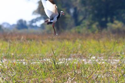 09AZa8325 Africa Animals Birds Botswana Landscapes Okavango Delta Okavango River Plovers Rivers Seronga Water