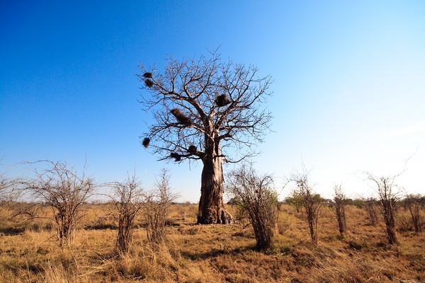 Click here to buy at Alamy. Keywords: Africa Baobab Botswana Okavango Delta Seronga MyID: 09AZb2979