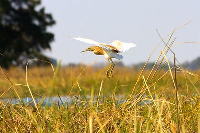 09AZa8323 Africa Botswana Okavango Delta Seronga Wading