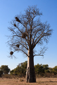 Click here to buy at Alamy. Keywords: 2009 Africa Baobabs Blue Skies Botswana Landscapes MyID: 09AZa8532