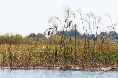 Click here to buy at Alamy. Keywords: Africa Botswana Okavango Delta Kingfisher Seronga MyID: 09AZa8470