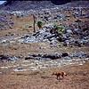 Ethiopian Wolf / Simean Fox