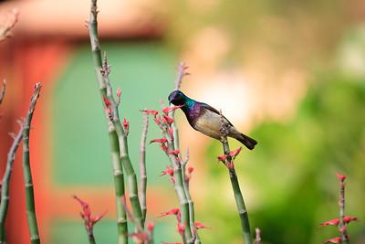 09AZb1136 Africa Animals Birds Gambia Gunjur Sunbirds