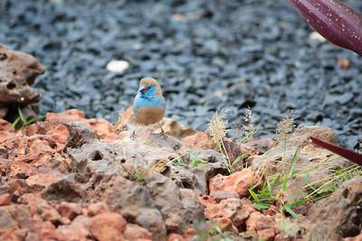 09AZb1123 Africa Birds Gambia Gunjur Red-Cheeked Cordon Bleu