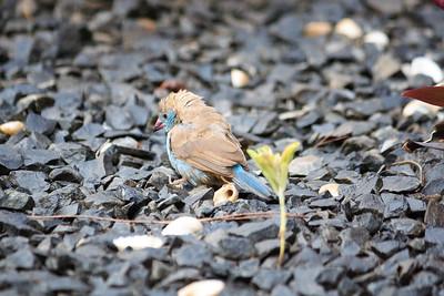 09AZb1116 Africa Birds Gambia Gunjur Red-Cheeked Cordon Bleu