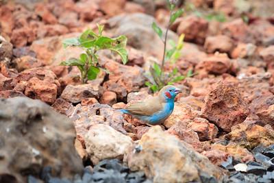09AZb1112 Africa Birds Gambia Gunjur Red-Cheeked Cordon Bleu