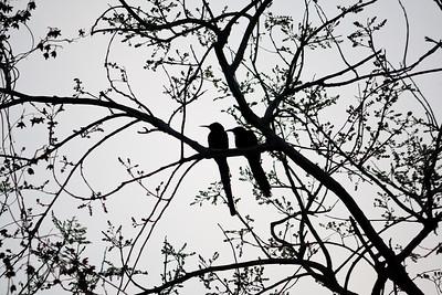 09AZb1052 Africa Birds Black Wood Hoopoe Gambia Gunjur