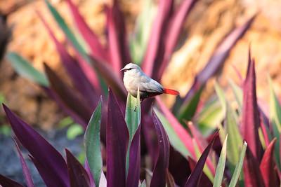 09AZb1117 Africa Birds Gambia Gunjur Lavender Waxbill