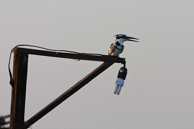 09AZa2113 Africa Gambia Kingfisher Pied Kingfishers Tendaba