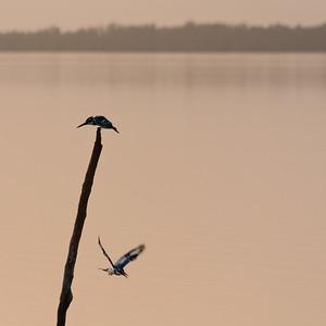 09AZa2109 Africa Gambia Kingfisher Pied Kingfishers Tendaba