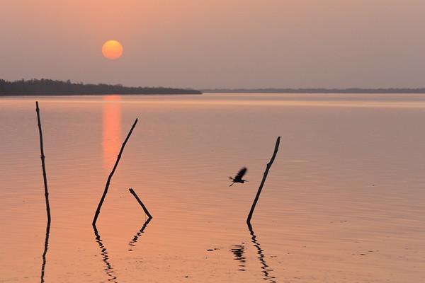 09AZa1980 Africa Black Egrets Gambia Peaches River Tendaba