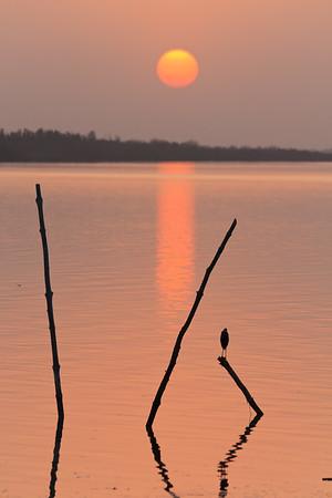 09AZa1977 Africa Black Egrets Gambia Peaches River Tendaba